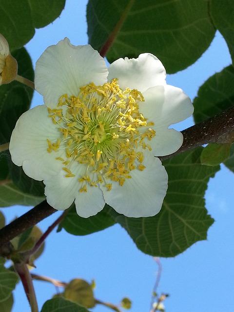 Fleur kiwi male